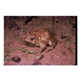 Houston Toad Poster