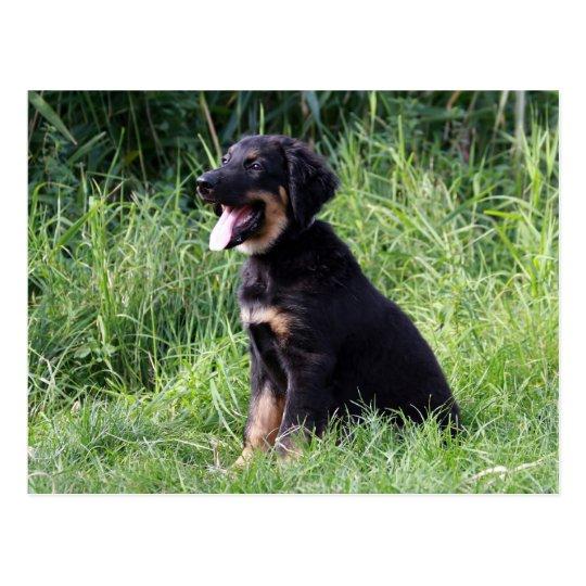hovawart pup postcard