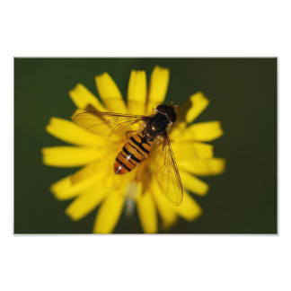 Hover Fly Photo