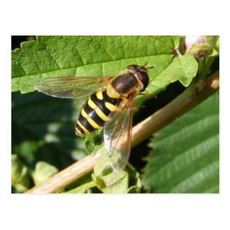 Hover fly postcard