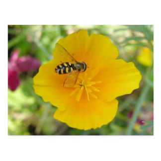Hoverfly and Californian Poppy Postcard