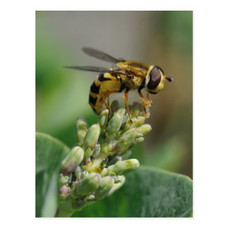 Hoverfly on honeysuckle post cards