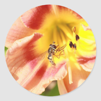 hoverfly on pink lily classic round sticker