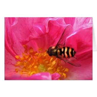 Hoverfly on Rosa Mundi