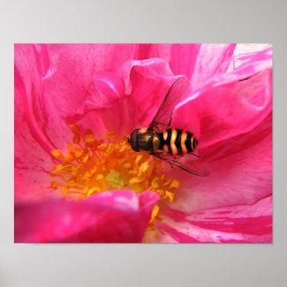 Hoverfly on Rosa Mundi print