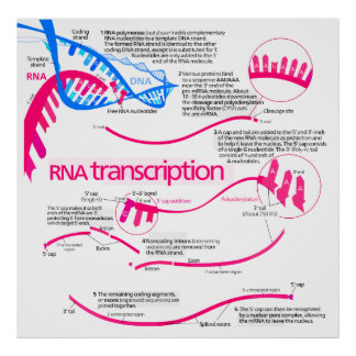 How mRNA is Created in a Nucleus Diagram Print