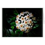 Hoya card (waxplant)