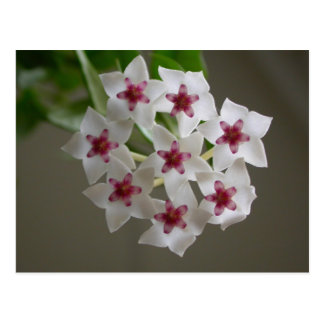 Hoya lanceolata ssp bella post card