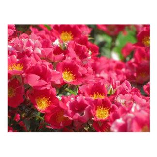 HRG Carefree Spirit Rose Postcard #8