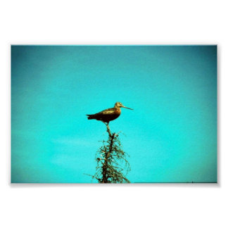 Hudsonian Godwit Poster