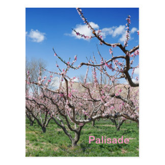 Huerta del melocotón de la primavera en postal del