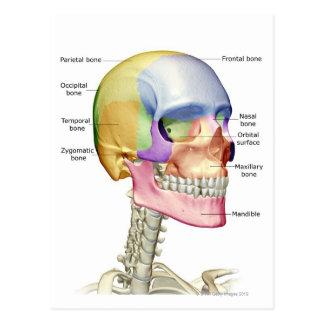 Huesos de la cabeza y del cuello 3 postales