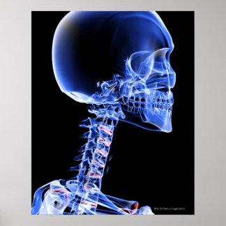 Huesos de la cabeza y del cuello póster