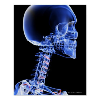 Huesos de la cabeza y del cuello posters
