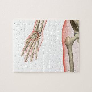 Huesos de la cadera 4 puzzles con fotos