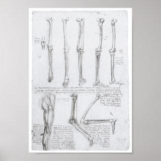 Huesos de la extremidad más baja, Leonardo da Vinc Póster