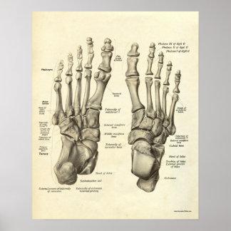 Huesos de la impresión de la anatomía del vintage