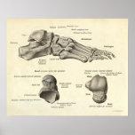 Huesos de la impresión de la anatomía del vintage  poster