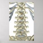 Huesos de las vértebras lumbares 3 póster