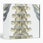 "Huesos de vértebras lumbares carpeta 1 1/2"""