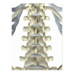 Huesos de vértebras lumbares tarjeta postal