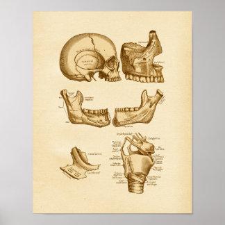 Huesos del ejemplo de la anatomía del vintage del posters