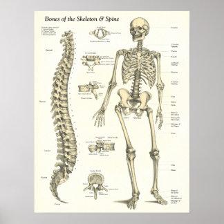 Huesos del esqueleto y del poster de la anatomía d