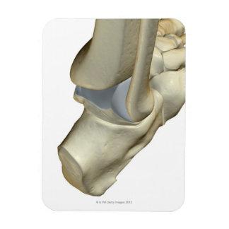 Huesos del pie 12 imán flexible