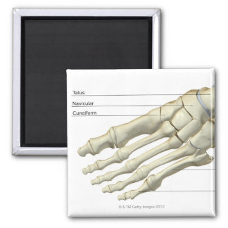 Huesos del pie 15 imán cuadrado