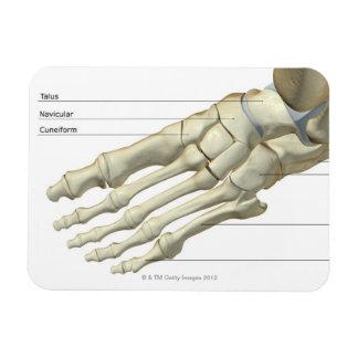 Huesos del pie 15 imanes rectangulares