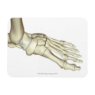 Huesos del pie 2 iman flexible