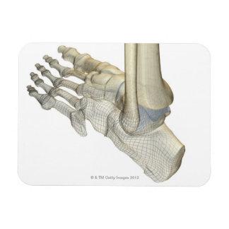 Huesos del pie 3 imán flexible