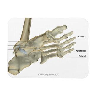 Huesos del pie 4 imanes flexibles