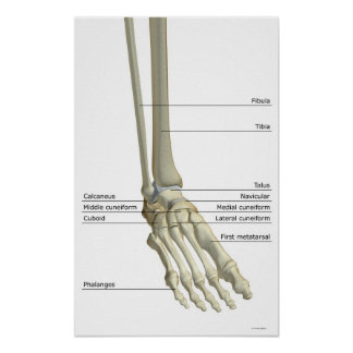 Huesos del pie 5 posters