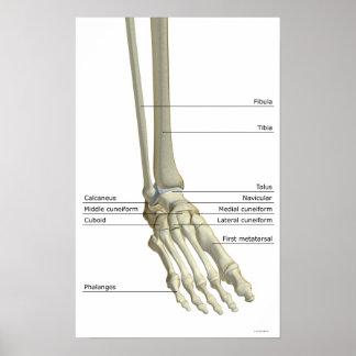 Huesos del pie 5 póster