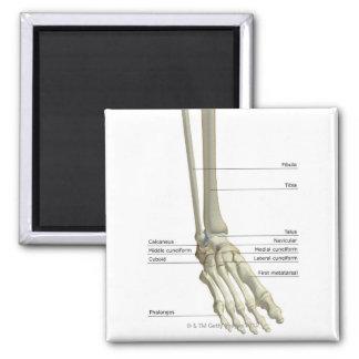 Huesos del pie 6 imán cuadrado