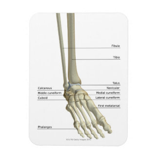Huesos del pie 6 imán rectangular