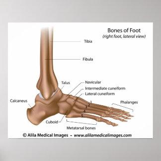Huesos del pie, etiquetados diagrama póster