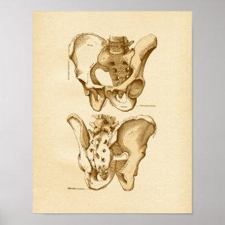 Huesos pélvicos del ejemplo de la anatomía del vin impresiones