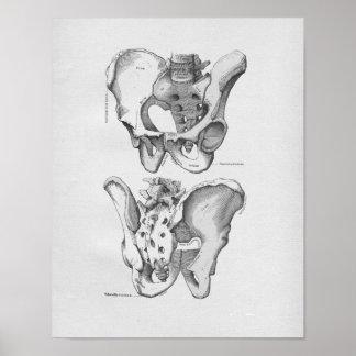 Huesos pélvicos del ejemplo de la anatomía del vin poster