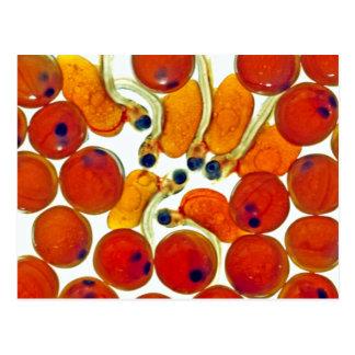 Huevos y fritada de color salmón postales