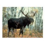 Huge Moose Post Card