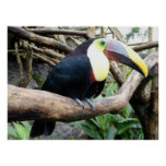 Huge Photo Of A Beautiful Toucan! Posters