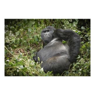 huge silverback mountain gorilla photo print