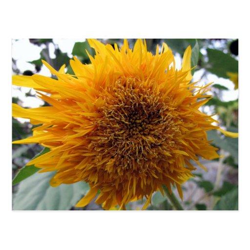 Huggable Sunflower Postcard