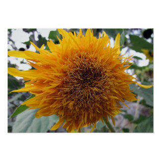 Huggable Sunflower Poster