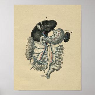 Human Abdominal Anatomy 1902 Vintage Print