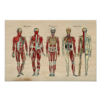Human Anatomy 1841 Print Muscles Nerves