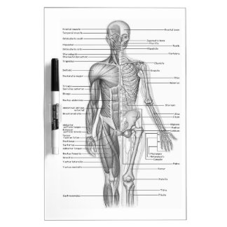 Human Anatomy Chart Dry Erase Board