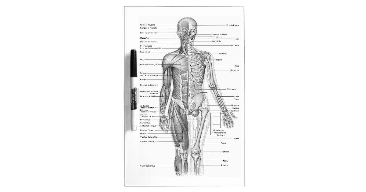 Human Anatomy Chart Dry Erase Board Zazzle